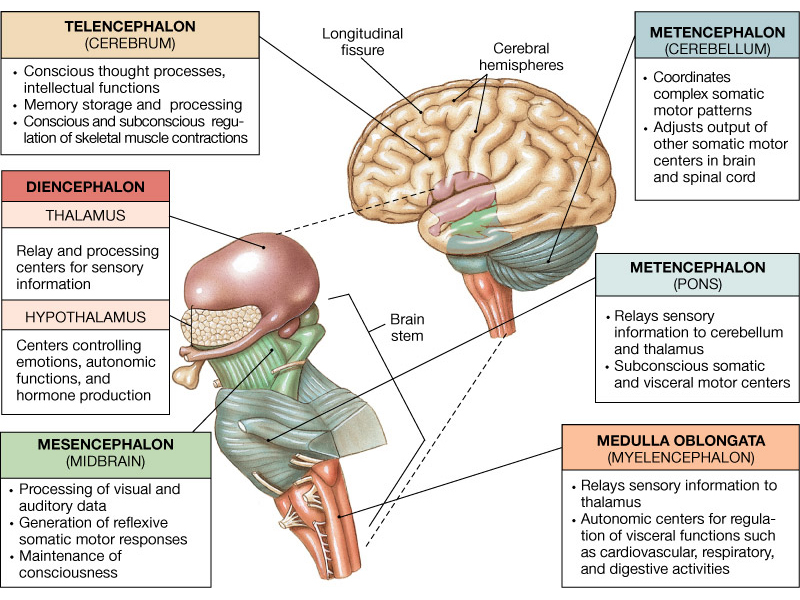 The Scarring of the Brain Stem | The Impious Digest
