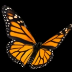 ist2_7305421-monarch-butterfly-on-white